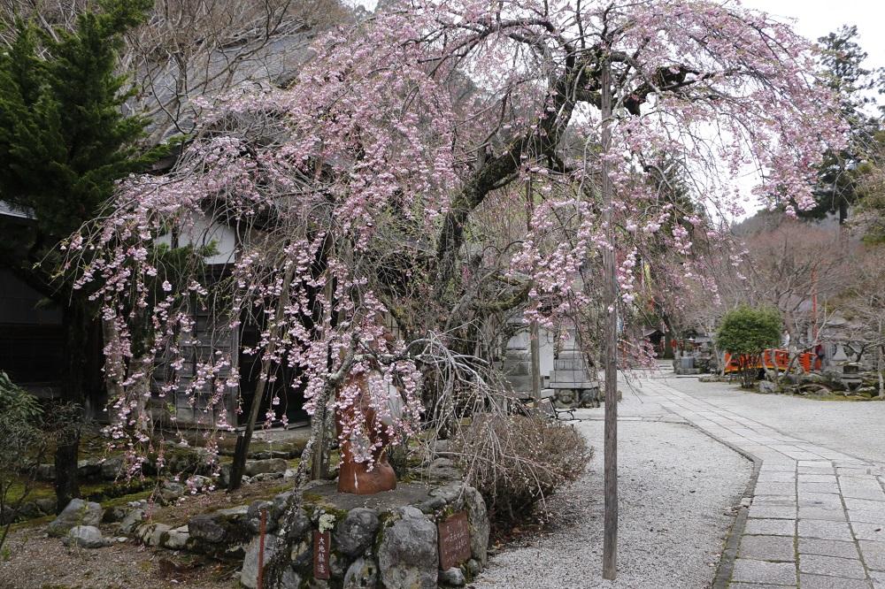 竜泉寺の枝垂れ桜